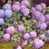 'Hortensias' 2003 · Óleo sobre lienzo · 81x100 · Colección particular